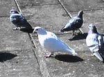 鳩胸ポーター[トリビア]